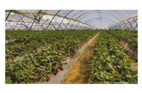 Lipsesc culegătorii români de căpșuni în Spania blocată de coronavirus