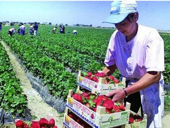 Italienii, disperați după plecarea muncitorilor români. Ministrul agriculturii cere României să îi lase urgent înapoi la muncă